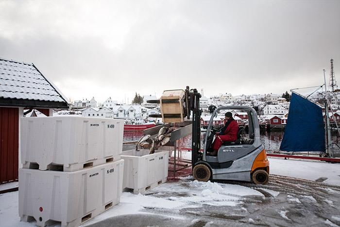 Moskenesøy er den ytterste av øyene på fastlands-Lofoten. Her har Brødrene Arntzen fiskemottaket sitt. Stor, sunn skreik kommer inn over bryggekanten og kjøres videre inn til sløying.